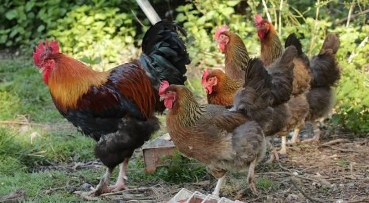 Порода кур барневельдер: история, достоинства и недостатки, уход и размножение