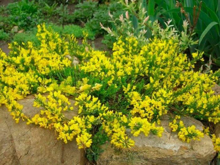 Ракитник – вечнозеленый кустарник из семейства бобовых. руководство по посадке и уходу.