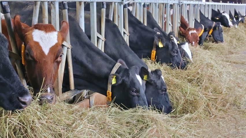 Как и чем кормить корову: сколько сена и комбикорма нужно на зиму, в год, в день, в сутки, чтобы крс съедал все — рацион кормления молочного направления для удоев