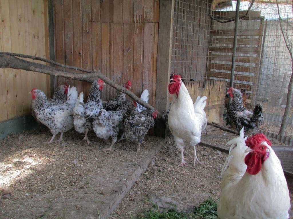 Минорка: особенности породы, условия для содержания кур