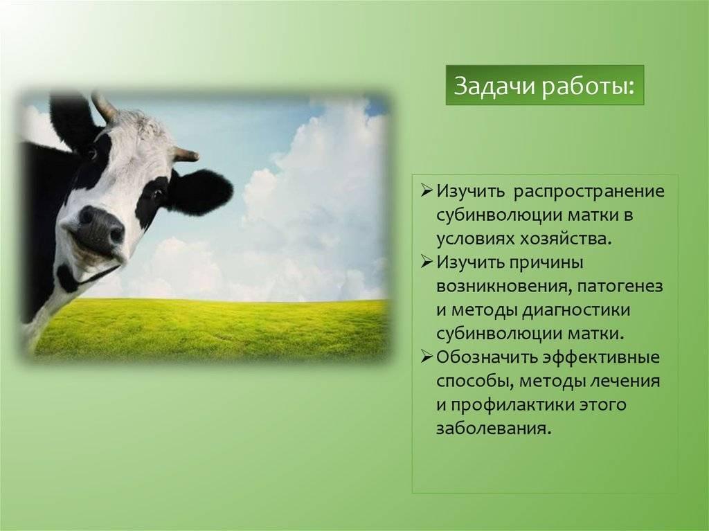 Хроническая субинволюция матки у коров - автореферат диссертации по ветеринарии скачать бесплатно на тему 'ветеринарное акушерство и биотехника репродукции животных', специальность вак рф 16.00.07