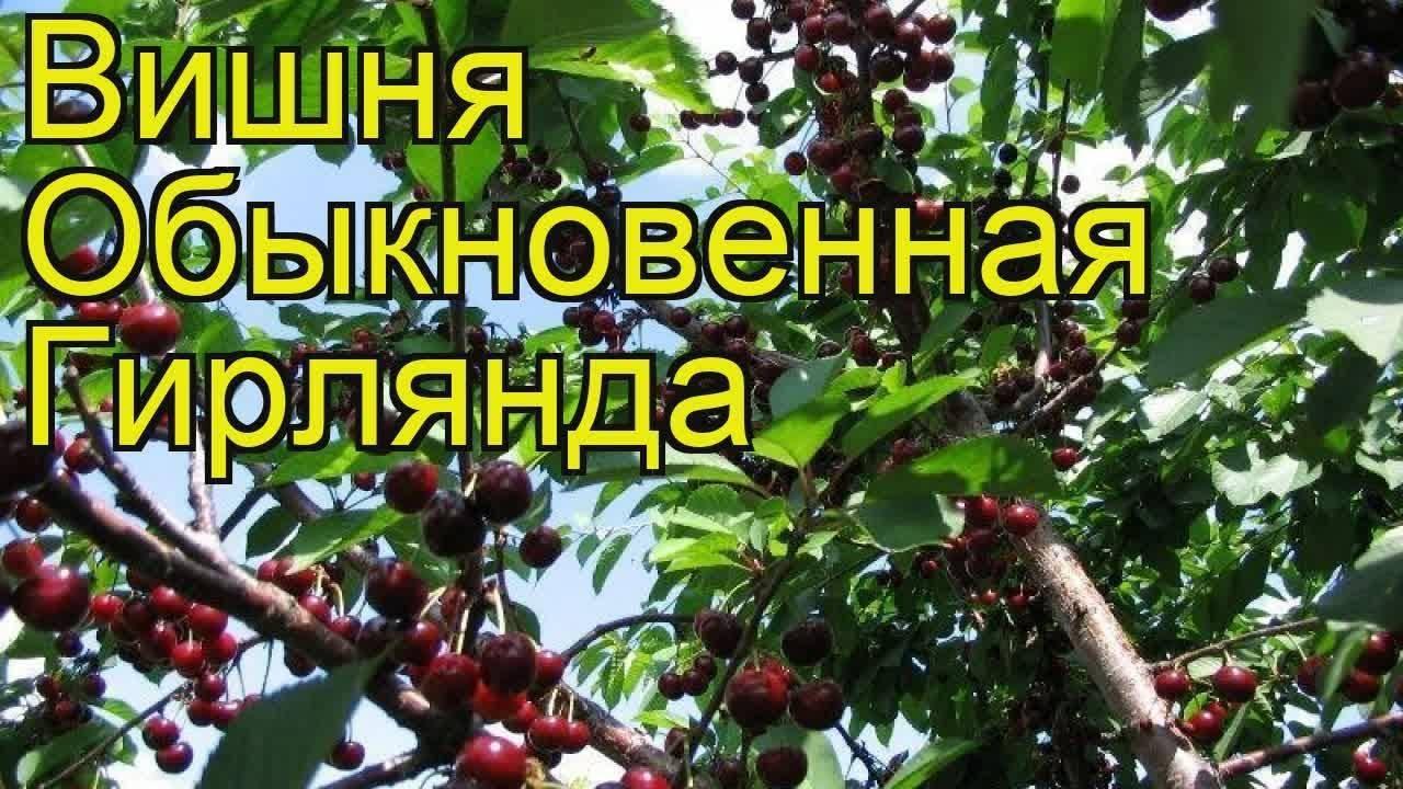 Сорт вишни гирлянда