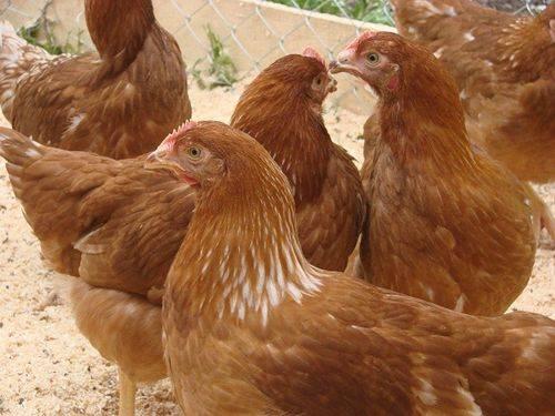9 пород кур несущие самые крупные яйца