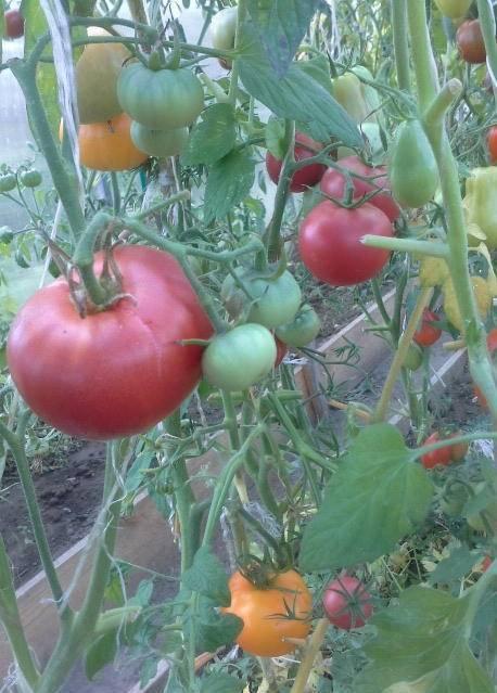 Сорт помидор «розмарин f1» — полное описание и мнение садоводов