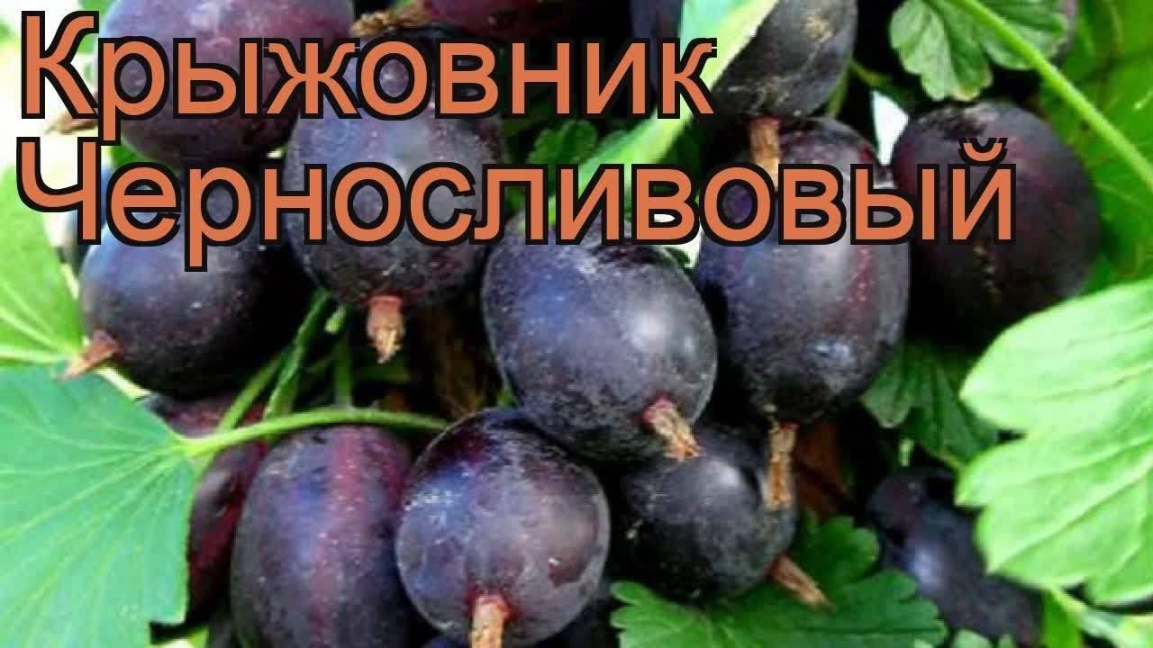 Крыжовник русский желтый: универсальный сорт для любимого сада