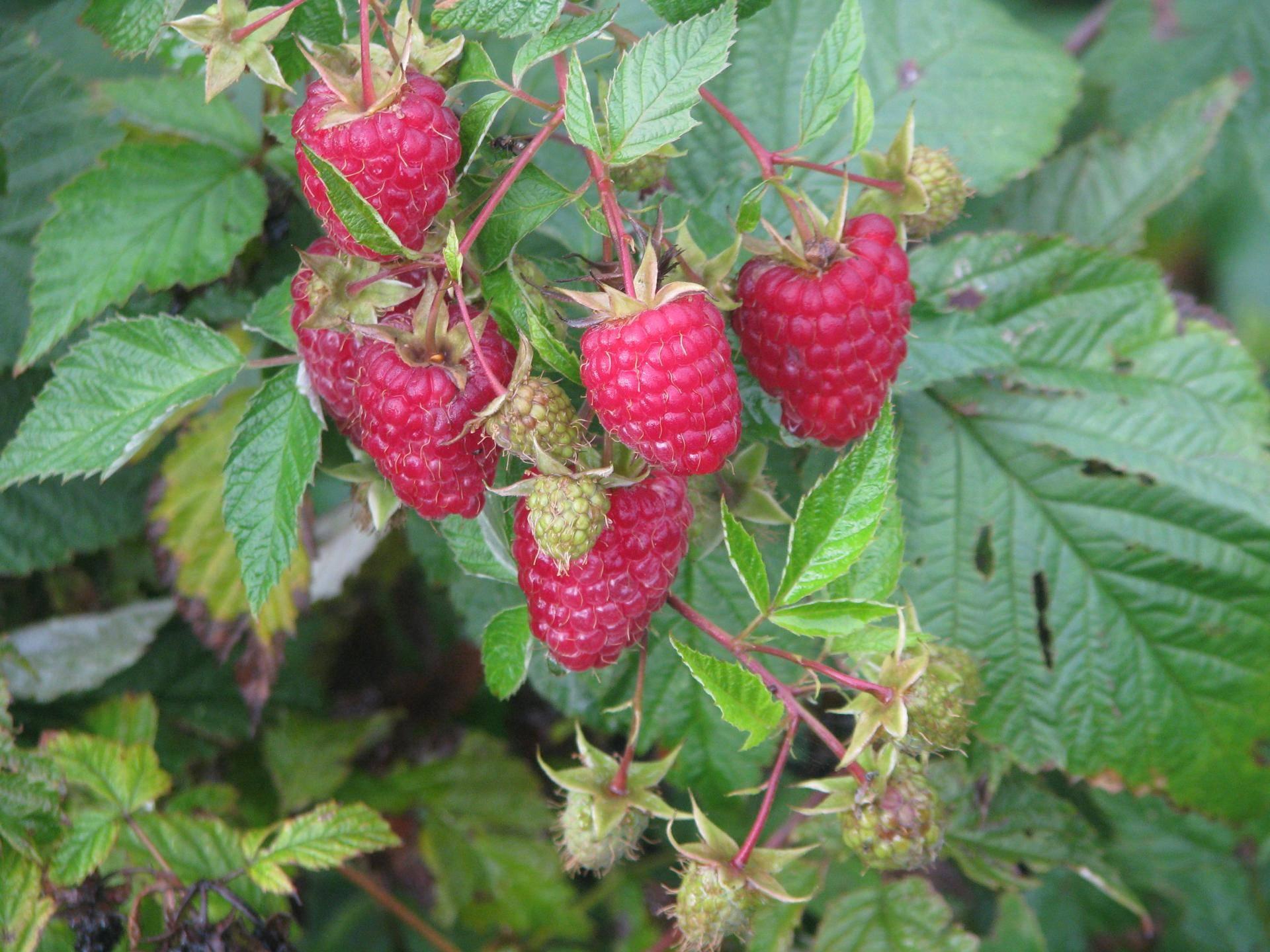 Описание малины сорта «карамелька»: характеристики, фото и отзывы садоводов