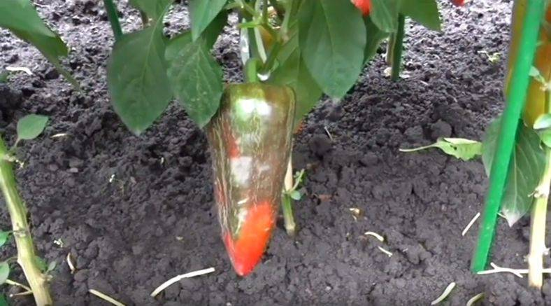 """Перец """"атлант"""": подробное описание сорта, красочные фото, методы выращивания"""