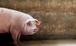 Кабан упал на задние ноги что делать. почему свинья падает на задние ноги и как ей помочь