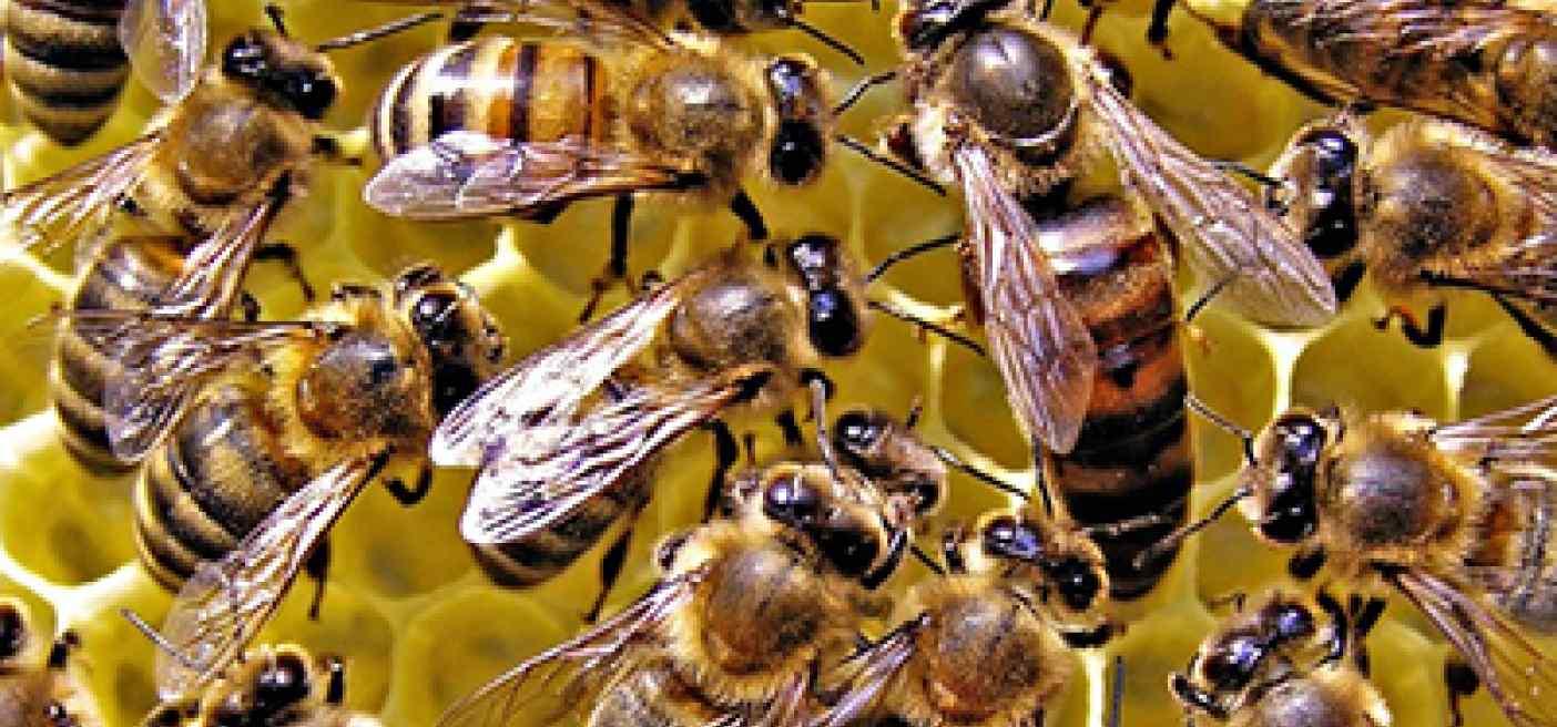 13 характеристик пчел карники
