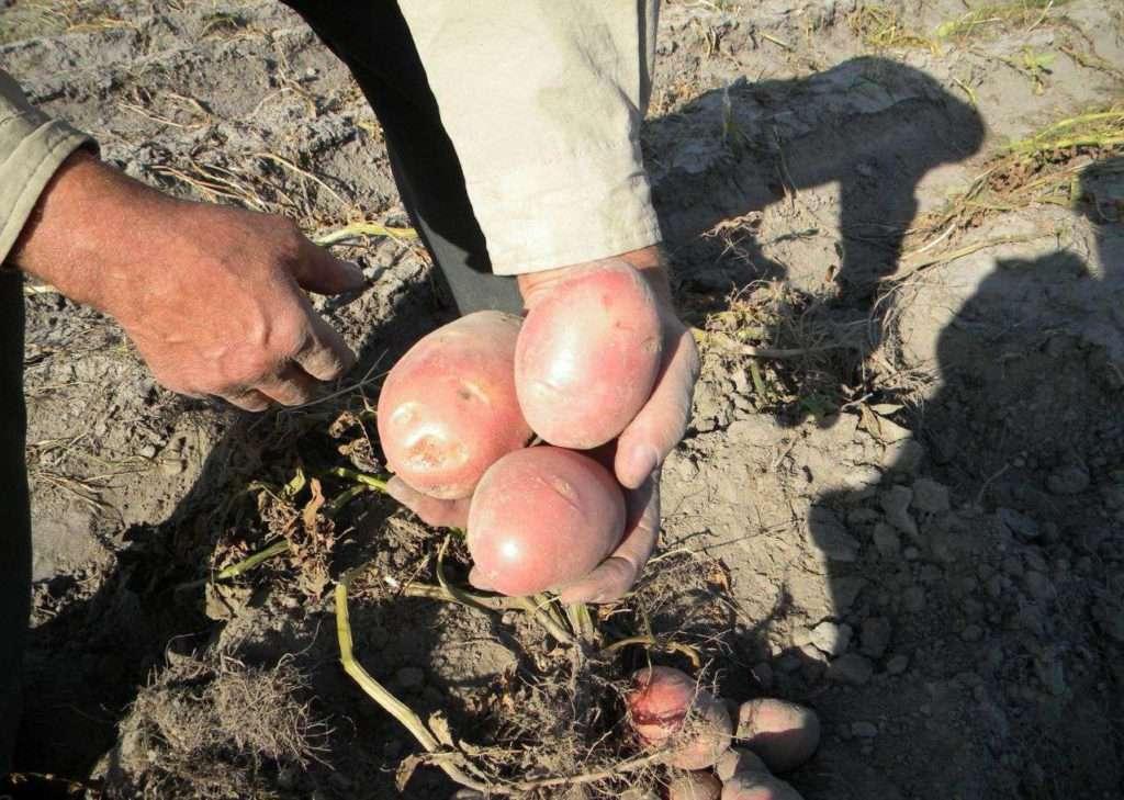 Картофель характеристика сорта журавушка. картофель журавинка, или журавушка—, что это засорт
