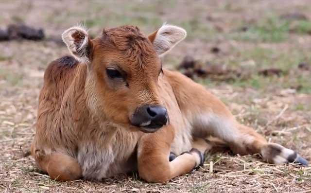 Анаплазмоз крупного рогатого скота