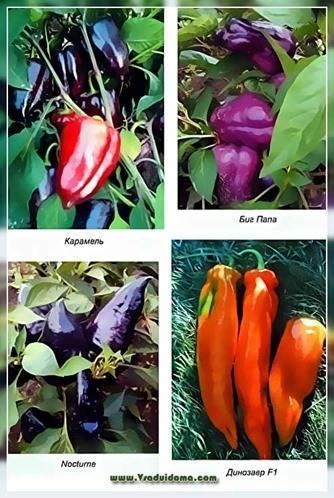 Сорт помидора «сибирский гигант»: фото, отзывы, описание, характеристика, урожайность
