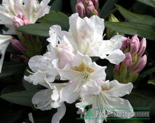 Рододендрон якушиманский: описание и фото этого растения и его сортов, таких как калинка, перси вайсман, блюретта, мист мэйдэн и других, а также уход за ними