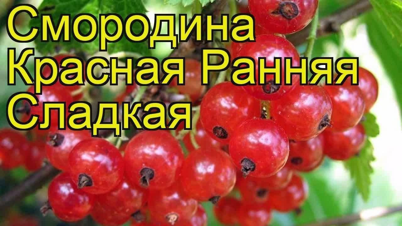 Смородина красная натали