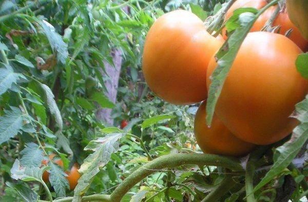 Томат Медовый спас: отзывы, фото, урожайность