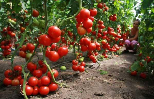 Лучшие сорта высокорослых томатов для открытого грунта