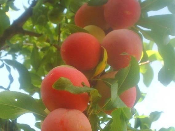 Слива персиковая: описание и характеристика сорта, достоинства и недостатки, особенности посадки и ухода + фото и отзывы