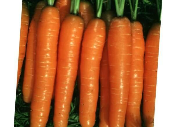Морковь нарбонне f1 — описание сорта, фото, отзывы, посадка и уход