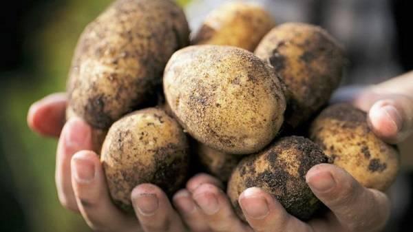 Высокоурожайный, среднепоздний сорт картофеля «манифест» с красными клубнями