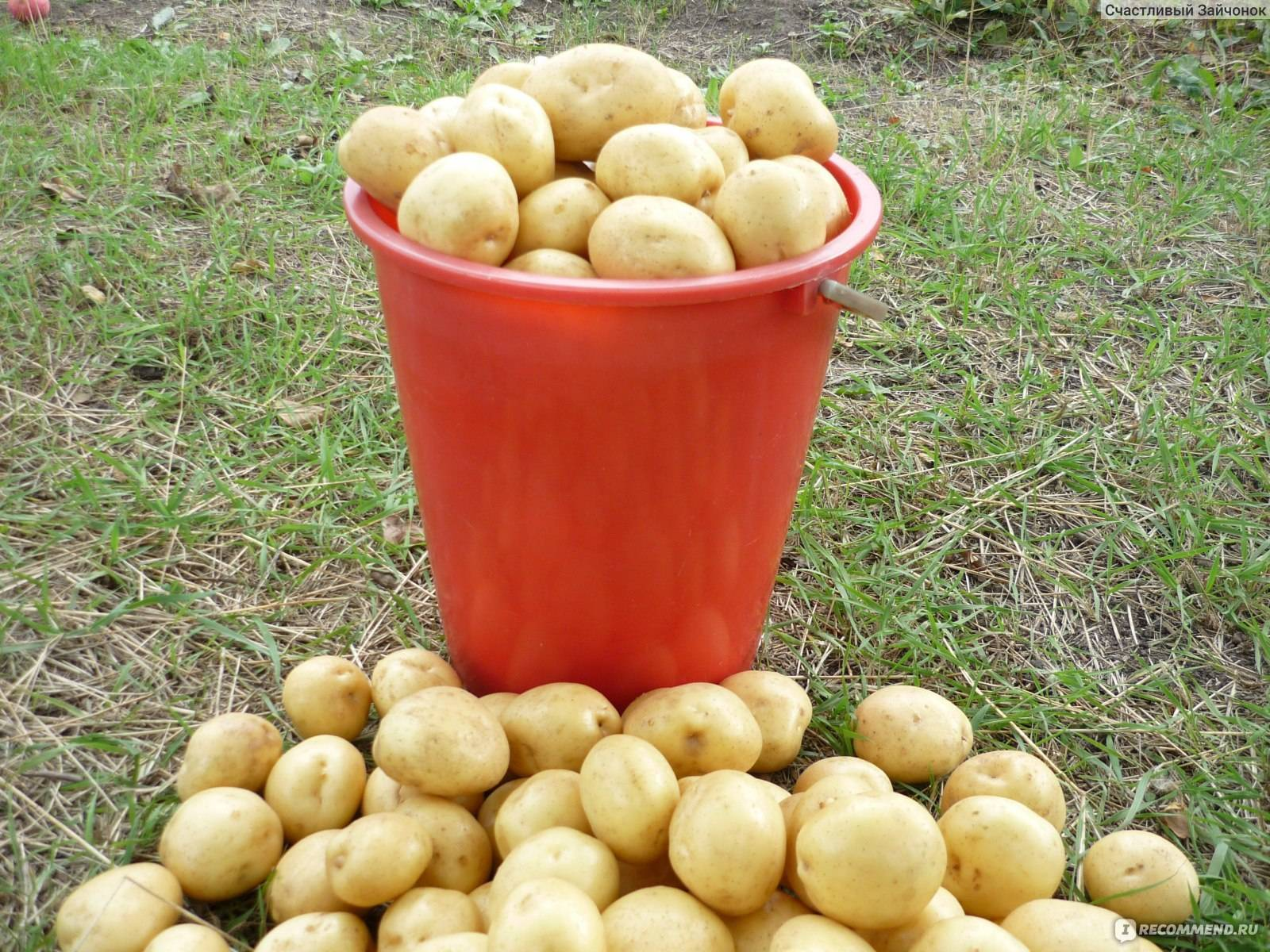 Картофель красавчик: описание и характеристика, отзывы