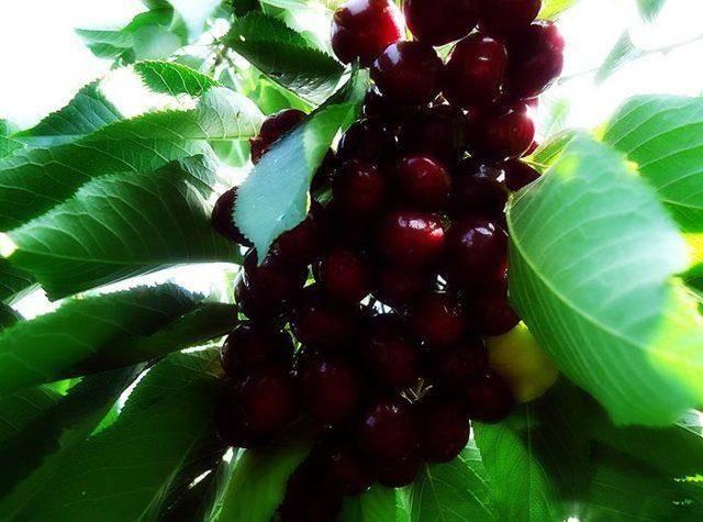 Черешня французская черная — описание сорта, фото, отзывы садоводов