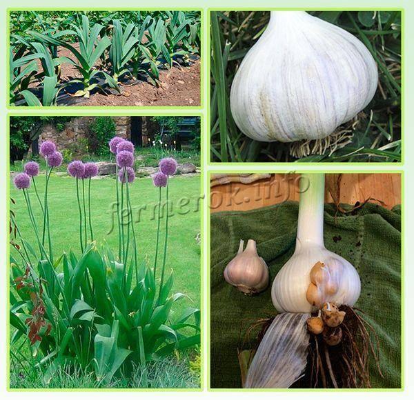 Рокамболь: выращивание + фото
