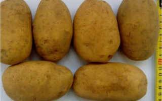 Картофель тулеевский — описание сорта, фото, отзывы, посадка и уход