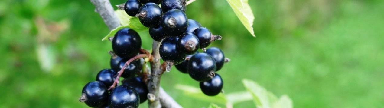 """Черная смородина """"белорусская сладкая"""": описание сорта и его фото, выращивание и уход, болезни и вредители"""