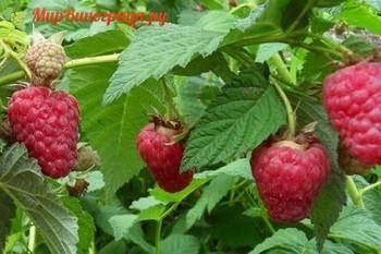 Брянское диво — сорт крупноплодной ремонтантной малины: посадка и уход, урожайность