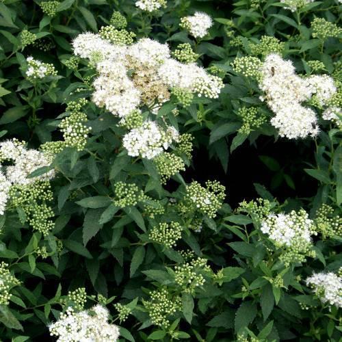 Сорта, выращивание и уход за спиреей густоцветковой