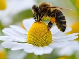 Апитерапия, она же «лечение пчелами». все о вреде, пользе, показаниях и противопоказаниях апитерапии
