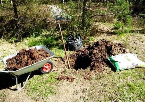 Как посадить вишню – пошаговая инструкция для новичков