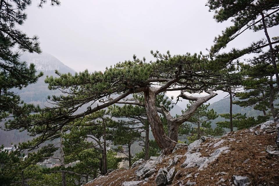Сосна чёрная (pinus nigra) — описание и декоративные сорта.