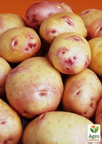 Что представляет собой картофель под названием — киви