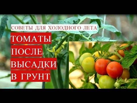 Чем подкормить томаты после высадки в теплицу