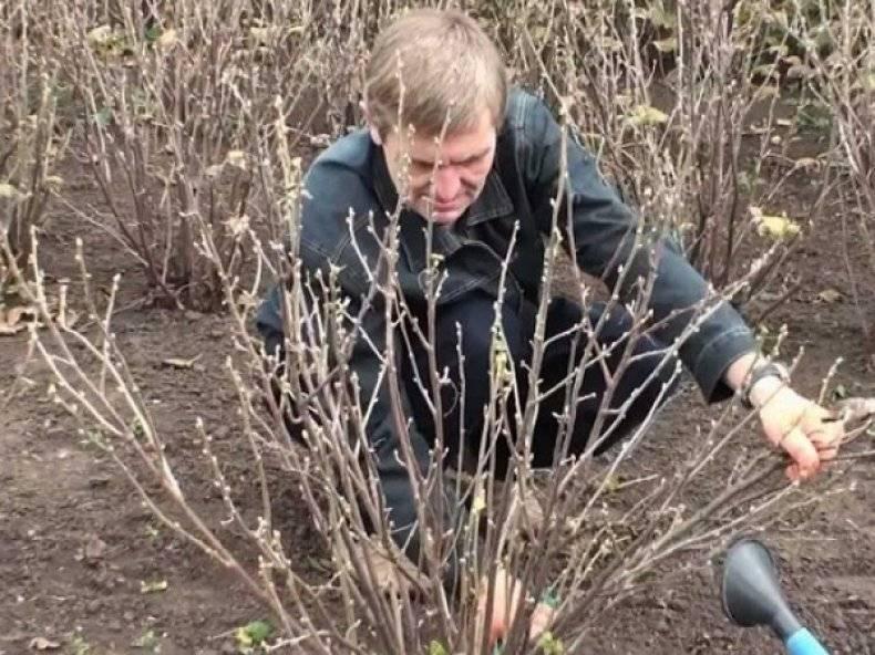 Чем обработать крыжовник ранней весной и получить хороший урожай