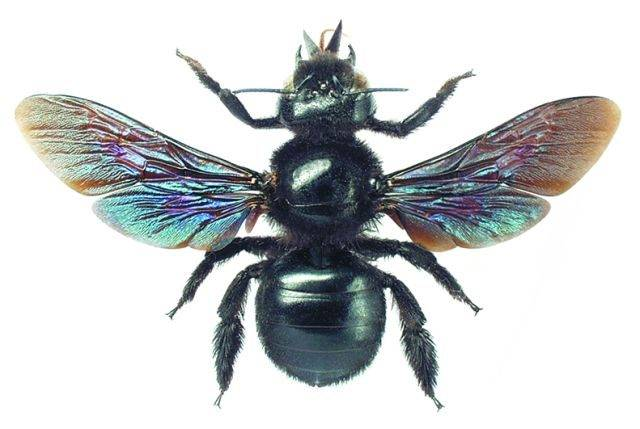 Особенности черной пчелы плотника