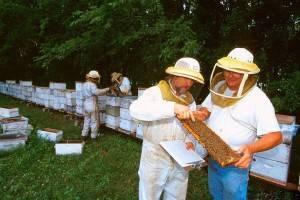 Гнилец у пчел: признаки