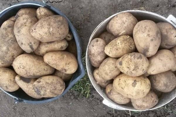 Сорт тулеевский: характеристика и описание картошки