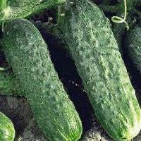 Огурец «директор f1»: характеристика и правила выращивания перспективного гибрида