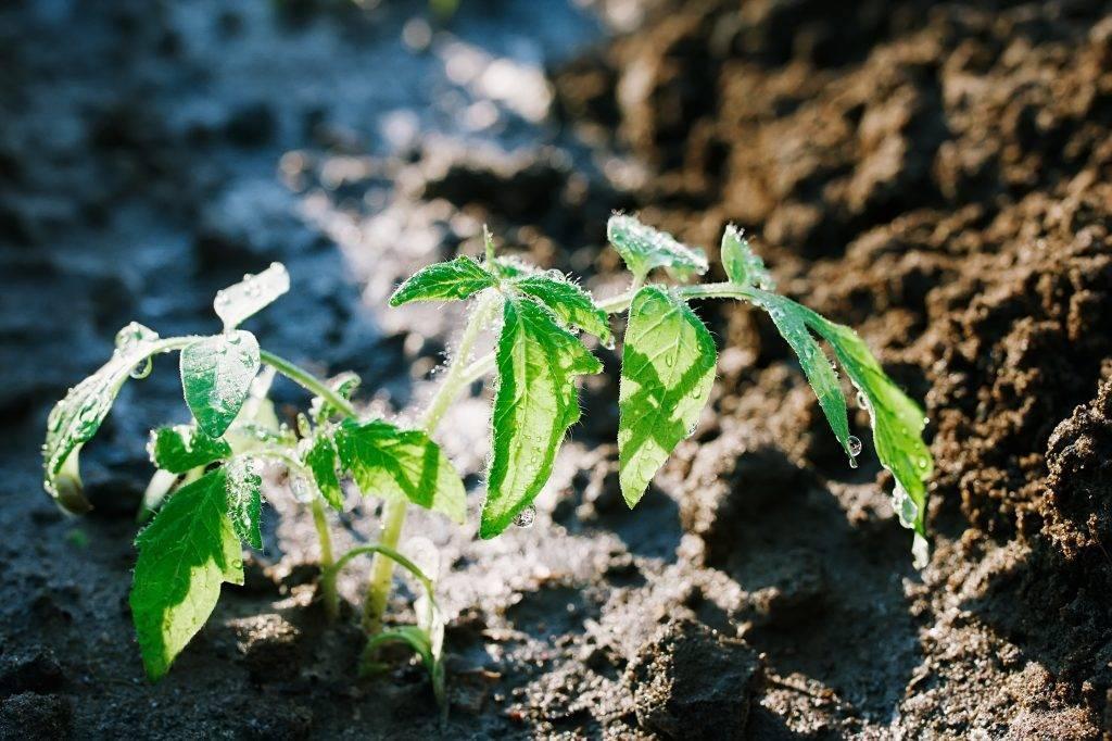 Монофосфат калия для томатов – 12 основных особенностей и советы по использованию