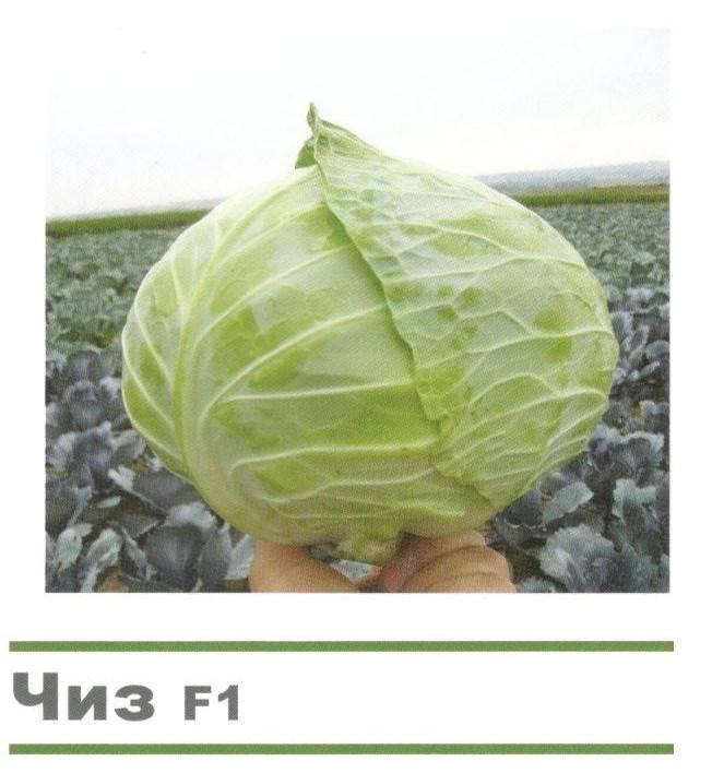Ранний белокочанный гибрид капусты пандион f1