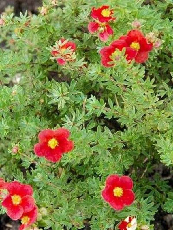Лапчатка кустарниковая беллиссима новинка potentilla fruticosa bellissima