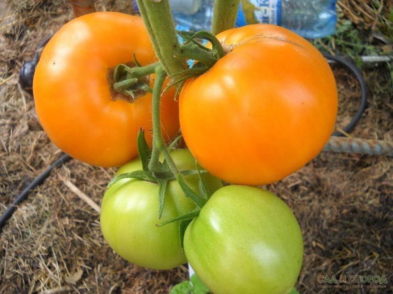 Сладкий томат медовый спас: характеристика и описание сорта
