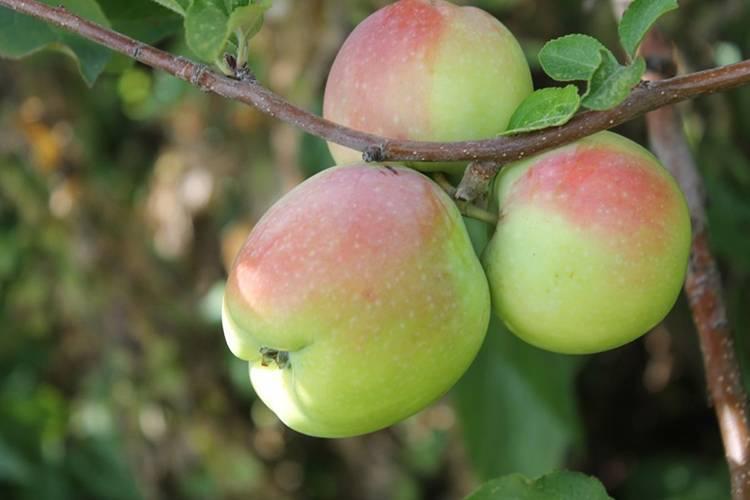 Описание яблони сорта «синап орловский»: характеристики, фото, отзывы