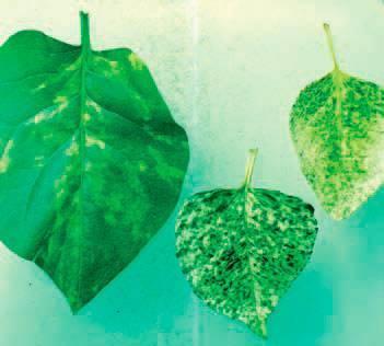 Почему у сирени чернеют листья по краям. вирусные болезни сирени