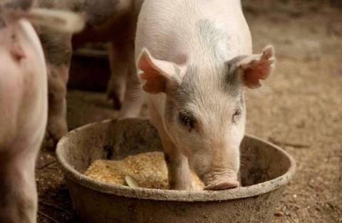 Кормовая добавка для свиней: обзор, состав, применение, результат