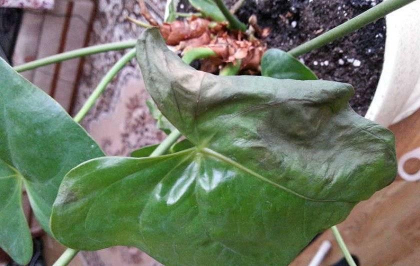 Заболевания авокадо: почему у растения сохнут кончики листьев, почему опадают?