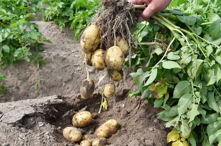 Картофель рябинушка: описание и характеристика, отзывы