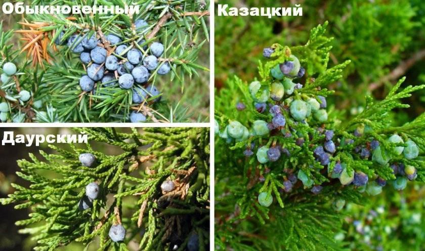Свойства можжевельника: обзор лечебных и опасных качеств растения и его плодов (125 фото)